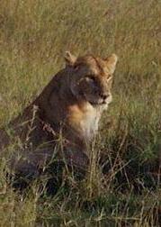 Lion | by Shelley Harrison
